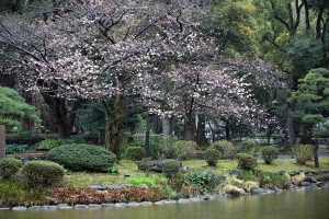 Sakura Tree with Early Blossoms