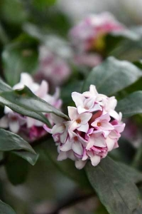 Winter Daphne
