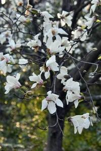 Kobushi Magnolia