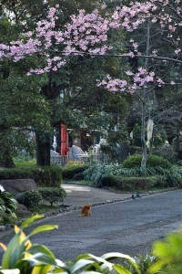 Chato the Cat under YōKō Sakura
