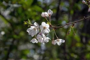 Sakura Blosoms