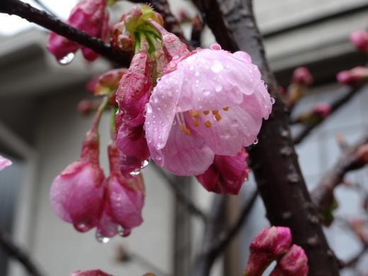 陽光、初桜