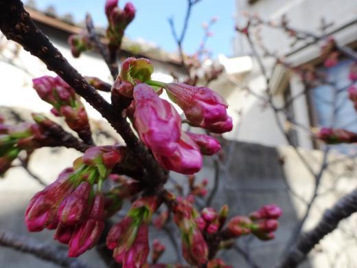 陽光桜芽吹く
