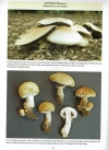 The_genus_Agaricus_in_Britain8.jpg