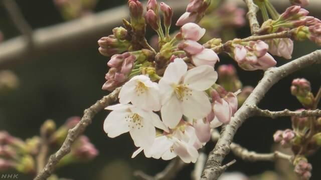 東京サクラ開花