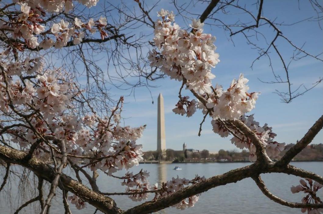 ポトマック桜開花