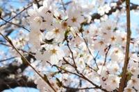 0405お花見 (1)