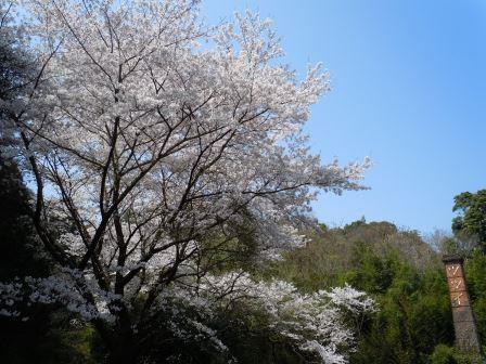 桜2(2019-03-30)