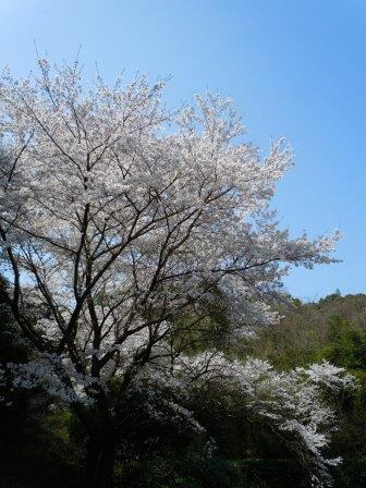 桜3(2019-03-30)