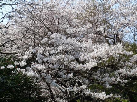 桜3(2019-03-29)