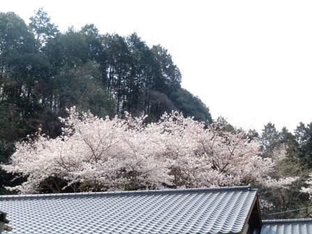 桜27(2019-03-29)