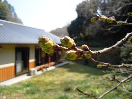 桜の蕾1(2019-03-17)