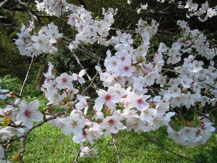 桜5(2019-03-30)