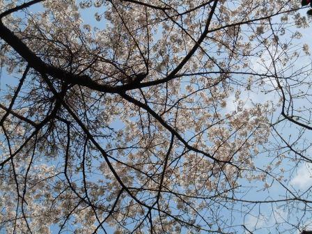 桜15(2019-03-30)