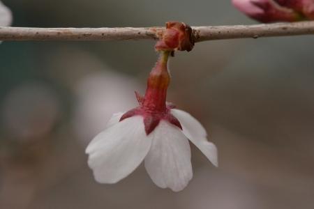 富士見台の星桜