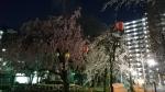 荒川区役所夜桜2019年春その3