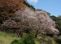 仙巌園 桜