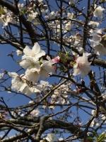 仙巌園 桜2