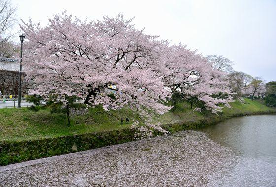 三 日 見 ぬ 間 の 桜 かな
