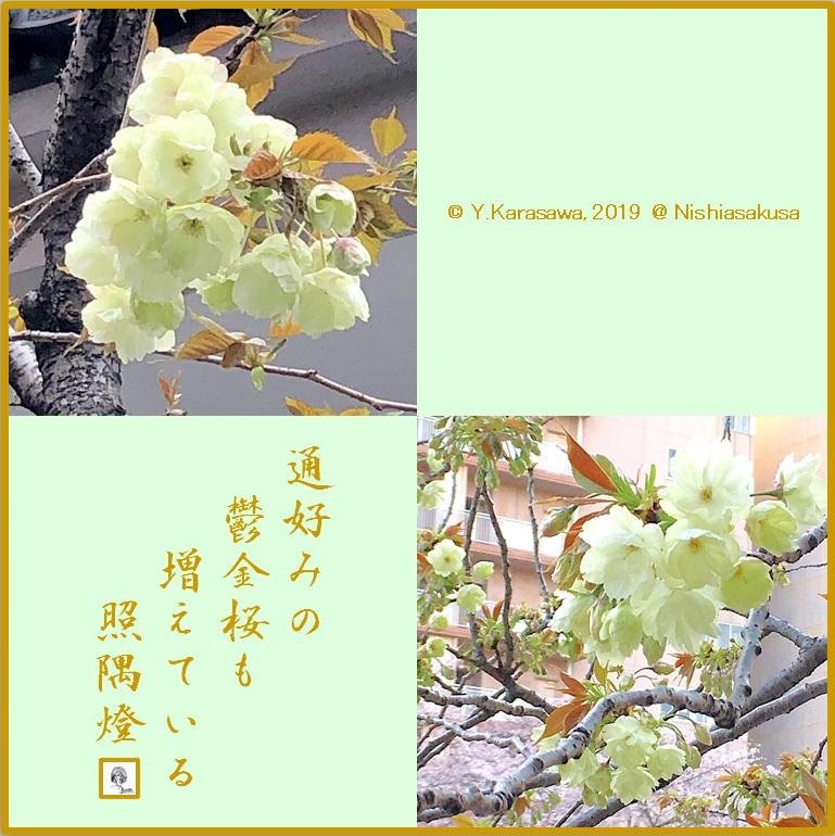 190402鬱金桜LRG