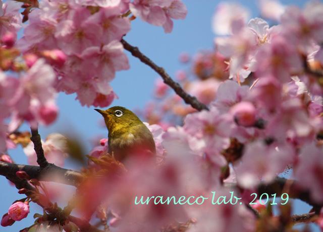 3月5日寒桜8