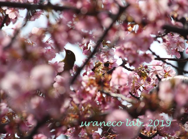 3月5日寒桜7