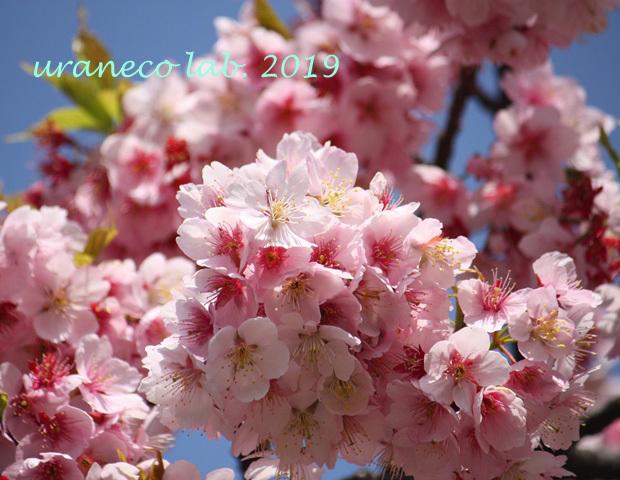 3月5日寒桜6
