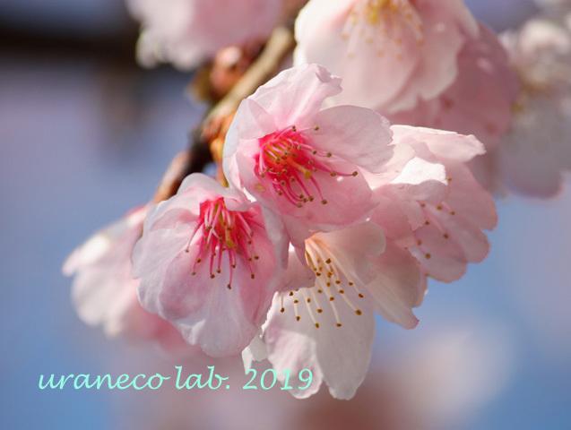 3月5日寒桜3