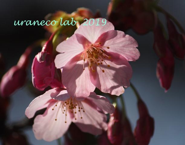3月8日河津桜