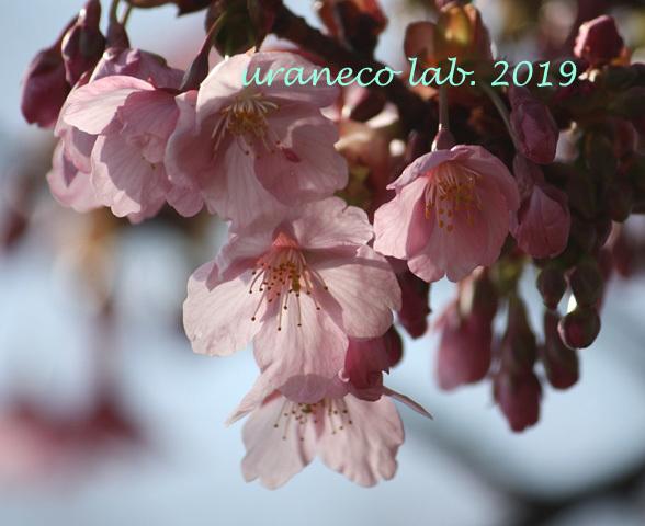 3月8日河津桜2