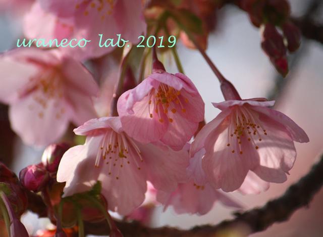 3月8日河津桜3