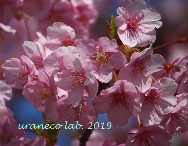 3月8日河津桜4