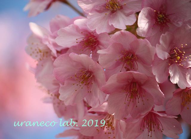 3月8日河津桜5