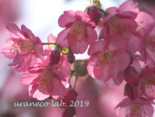 3月8日河津桜6