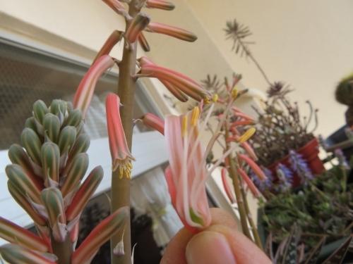 アロエ・千代田錦、花を剥いてみますと小さい黄色部分(雄蕊)に花粉があります。屋外軒下で開花♪2019.03.05