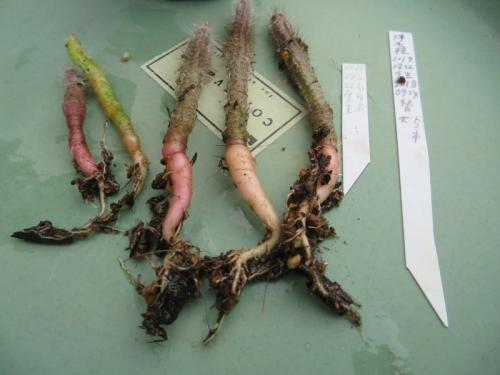 エキノケレウス・珠毛柱(Echinocereus schmollii)実生苗(2017.08.22)、塊根の様子、2019.03.10