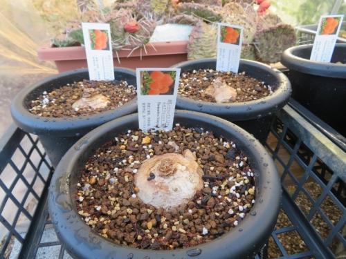 ハエマンサス(スカドクサス)・ムルチフローラ(Haemanthus=Scadoxus multiflorus)、線香花火、春植え球根植え付け2019.03.13