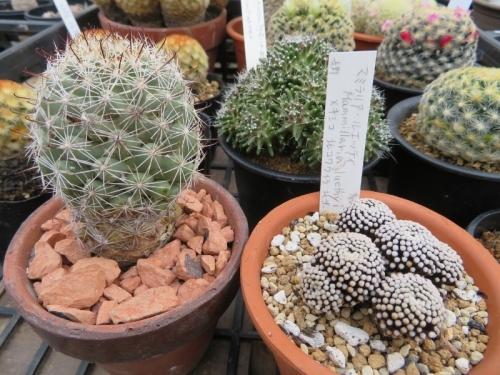 マミラリア・蓬莱宮(Mammillaria schumannii)左、マミラリア・ツエッティ(Mammillaria luethyi)(右)2019.03.15