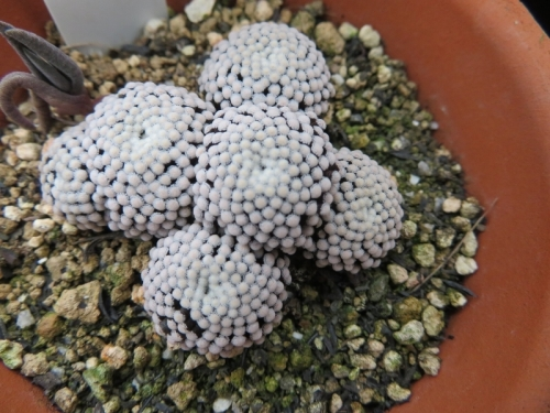 マミラリア・ツエッティ(Mammillaria luethyi)メキシコ原産、春咲き植え替えしました。2019.03.06