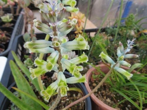 ラケナリア・グラウシナ(Lachenarlia orchioides var. glaucina)淡いブルー芳香花、2019.04.01