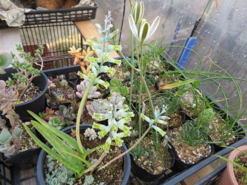 ラケナリア・グラウシナ(Lachenarlia orchioides var. glaucina)淡いブルー芳香花、アルブカ花芽上がり中♪2019.04.01