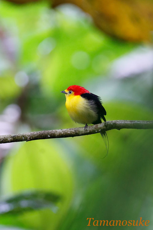 Wire_tailed_ Manakin_1