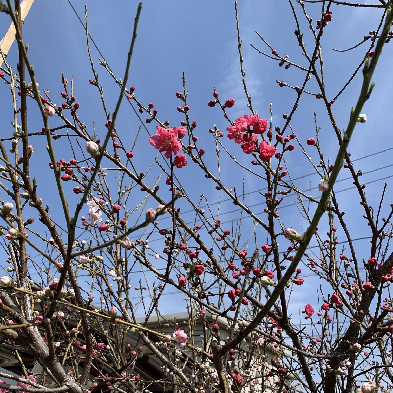 社屋東の花桃