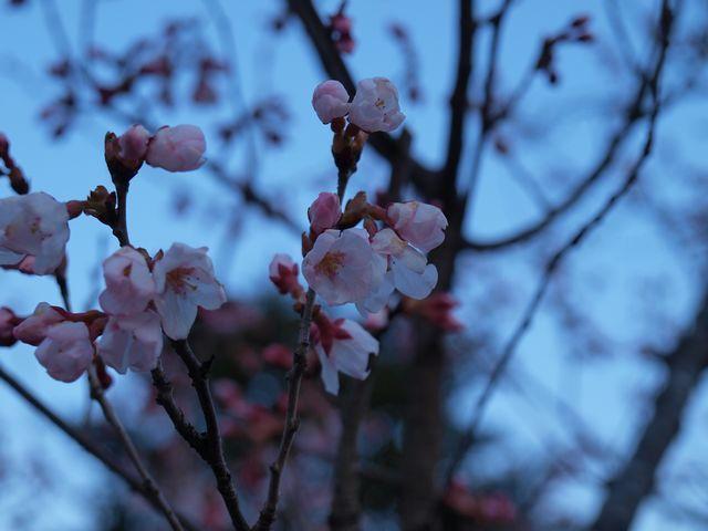 s桜開花4