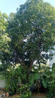 P_20190307_155510_mango tree