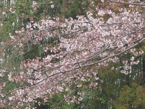 「北の谷敬老花見会」⓾_R