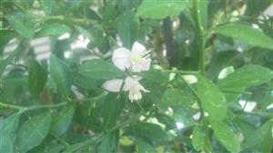 フィンガーライム初花①_R