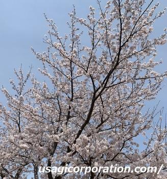 2019 0408 桜