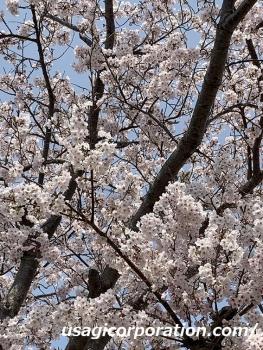2019 0408 桜2