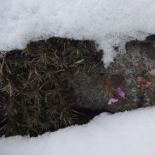雪の中の芝桜